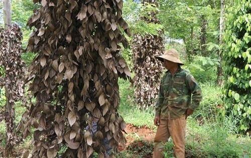 A farmer in the Central Highlands province of Đắk Nông examines dying pepper trees on his farm.