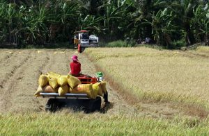 Mekong Delta expects 150,000 additional tons from summer-fall rice crop